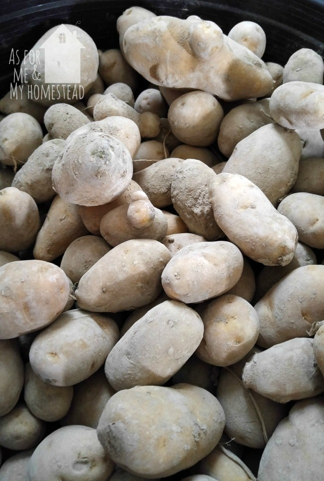 Find out how to glean potatoes like these for free!