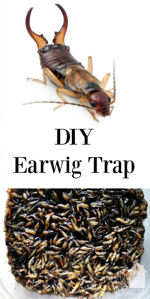Using just 2 ingredients, you can make this simple DIY earwig trap. You'll be amazed at how well it works at trapping earwigs!