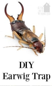 DIY Earwig Trap